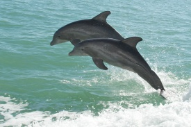 Dolphins have survived millions of years without key viral proteins (Pete Markham, Flickr)