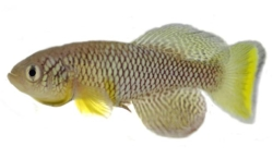 Photograph of the Nothobranchiius furzeri killifish, by Ugua